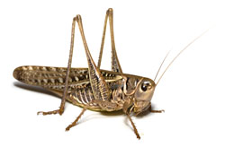 """Insect Limb """"Biomechanical Tricks"""" May Hold Promise For Prosthetic and Robotic Limbs"""