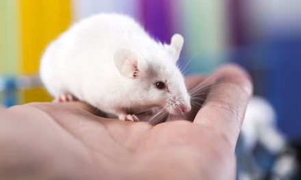 Mouse Model Indicates SCIs Are More Severe in Aging Mice