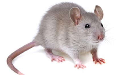 Stem Cell-Differentiated Tissue Implanted in Rats Provides Further Hope for SCI Patients